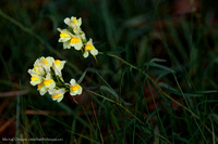 Lnice (Linaria)